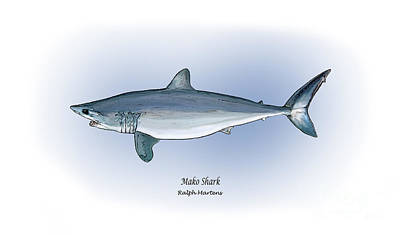 Fish Drawing - Mako Shark by Ralph Martens