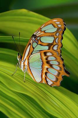 Malachite Butterfly (siproeta Stelenes) On Rhapis Palm Leaves (rhapis Excelsa) Print by Darrell Gulin