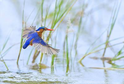 Malachite Kingfisher Dive Original by Basie Van Zyl