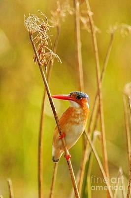 Malachite Kingfisher Original by Tom Cheatham