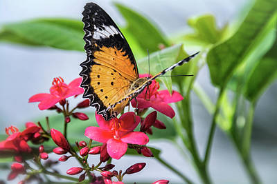Lacewing Photograph - Malay Lacewing On Pink Flowers  by Saija Lehtonen