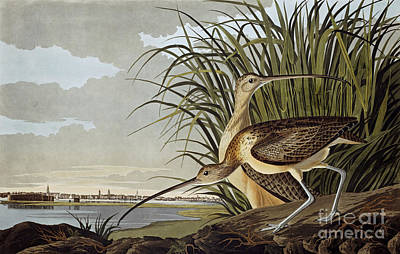 Portrait Painting - Male And Female Long Billed Curlew by John James Audubon