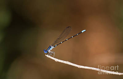 Male Blue Ringed-dancer Print by Ruth Jolly