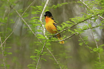 Photograph - Male Baltimore Oriole by David Yunker