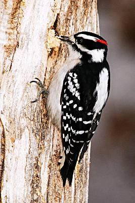 Hairy Woodpecker Photograph - Male Hairy Woodpecker by Larry Ricker
