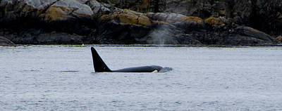 Photograph - J-26, Mature Male Orca Whale by Marilyn Wilson