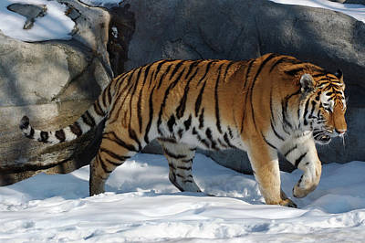 Toronto Photograph - Male Siberian Tiger Prowling In The Snow by Reimar Gaertner