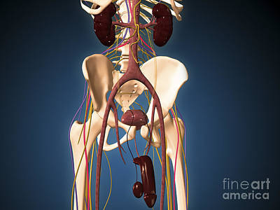 Male Skeleton With Ureter System Print by Stocktrek Images