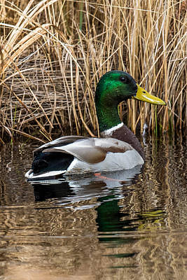 Wild Ducks Photograph - Mallard II by Paul Freidlund