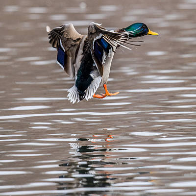 Drake Photograph - Mallard Incoming by Paul Freidlund