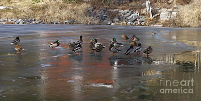 Mallards Discussing The Weather Print by Marcia Lee Jones