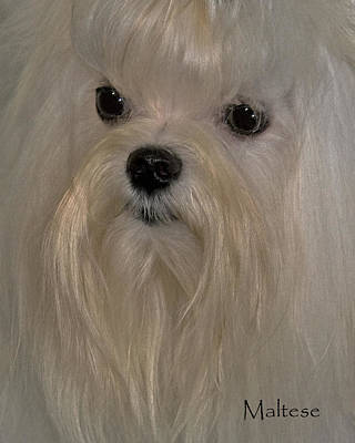 Maltese Dog Photograph - Maltese by Larry Linton