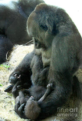 Animals Photograph - Mama N Baby Lowland Gorilla - 3.5 Weeks Old by Gary Gingrich Galleries