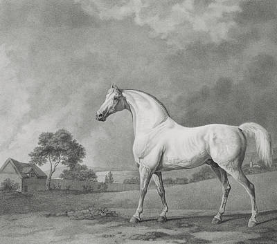 Stallion Drawing - Mambrino by George Stubbs