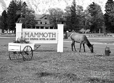 Mammoth Hot Springs Hotel Sign Elk In Yellowstone National Park Wyoming Black And White Print by Shawn O'Brien