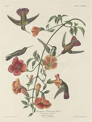 Hummingbird Drawing - Mangrove Hummingbird by John James Audubon