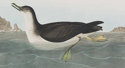 Duck Painting - Manks Shearwater by John James Audubon