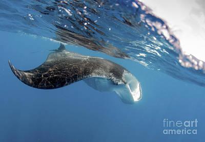 Batoidea Photograph - Manta Ray Off Coast Of Isla Mujeres by Karen Doody