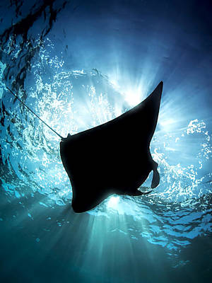 Underwater Photograph - Manta Silhouette by Henry Jager