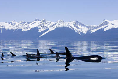 Photograph - Many Orca Whales by John Hyde - Printscapes