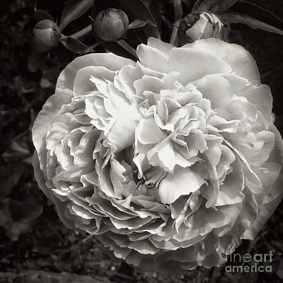 Photograph - Many Petals by Marcia Lee Jones