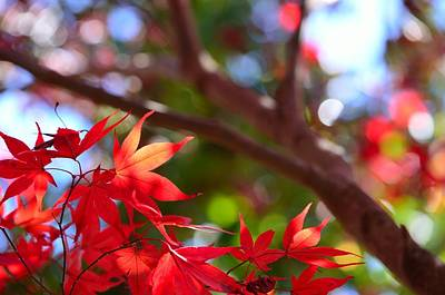 Leave Photograph - Maple Leaves No.1 by Fan Ying Hua