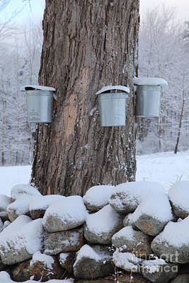 Maple Syrup Collecting Print by Larry Landolfi