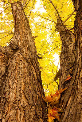 Striking Photograph - Maple Tree 3 by James BO  Insogna