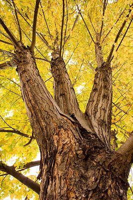 Gold Photograph - Maple Tree Portrait by James BO  Insogna