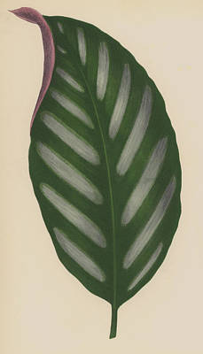 Banana Drawing - Maranta Porteana by English School