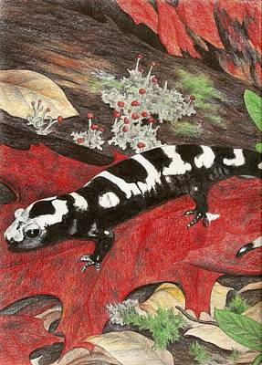 Salamanders Drawing - Marbled Salamander by Courtney Trimble