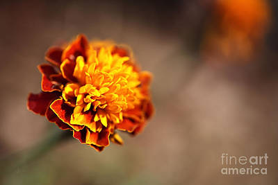Photograph - Marigold Is Golden by Joy Watson