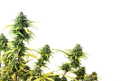 Ganja Mixed Media - Marijuana Plant by Boyan Dimitrov
