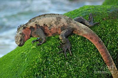 Marine Iguana On Rock Print by Sami Sarkis