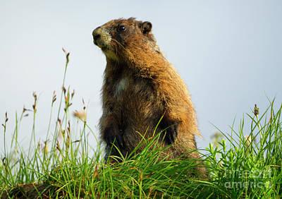 Sentry Photograph - Marmot Sentry by Mike Dawson