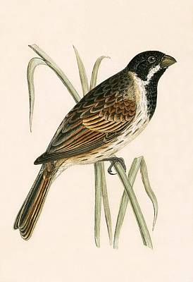 Marsh Bunting Print by English School
