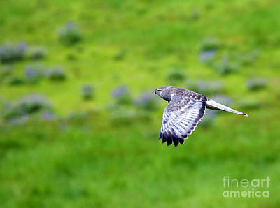 Northern Harrier Photograph - Marsh Hawk In Flight by Mike  Dawson