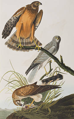 Hawk Drawing - Marsh Hawk by John James Audubon