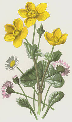 Daisy Drawing - Marsh Marigold And Daisy by Frederick Edward Hulme