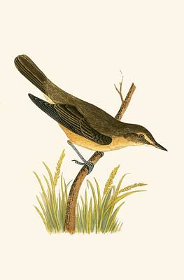 Warbler Drawing - Marsh Warbler by English School