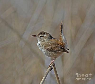 Photograph - Marsh Wren by Gary Wing