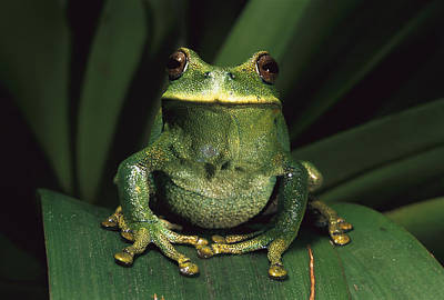 Frogs Photograph - Marsupial Frog Gastrotheca Orophylax by Pete Oxford