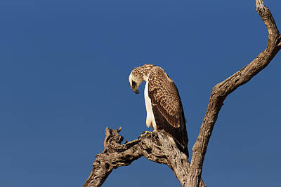 Stump Photograph - Martial Eagle by Johan Swanepoel