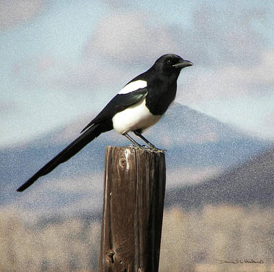 Magpies Digital Art - Marty The Magpie by Daniel Hebard