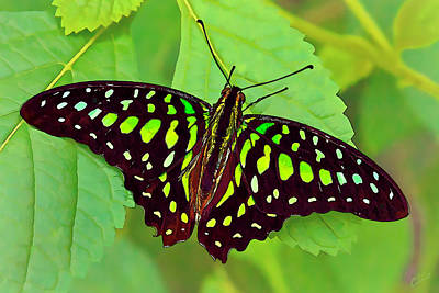 Manipulation Photograph - Marvelous Malachite Butterfly 2 by Bill Caldwell -        ABeautifulSky Photography