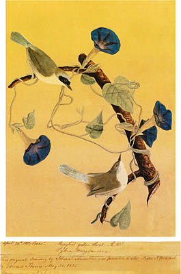 John James Audubon Painting - Maryland Yellowthroats by John James Audubon