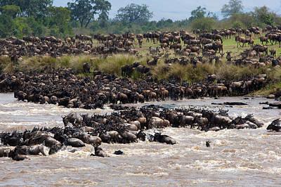 Masai Mara The Great Migration Print by Paco Feria