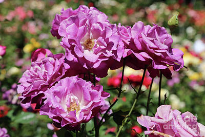 Roses Photograph - Mauve Roses by Carol Groenen