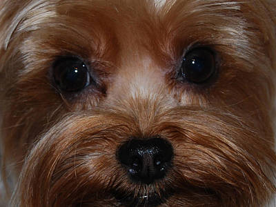 Yorkie Photograph - Max by Patricia Motley