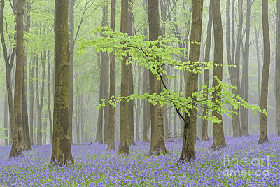 May Bluebells Print by Richard Thomas